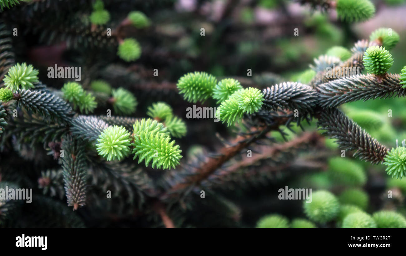 Young growing fir tree green spruce bud in morning spring forest - Stock Image