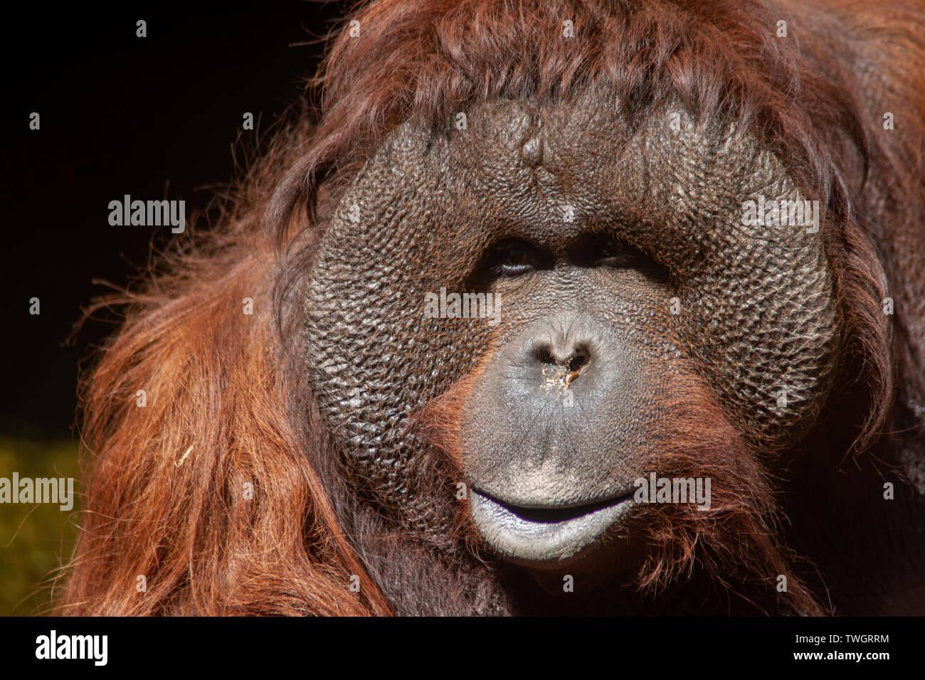 Look of a Bornean orangutan Stock Photo