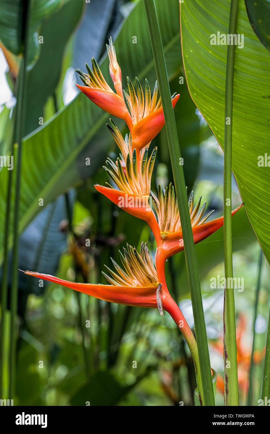 A close up of an exotic red heliconia flower near Victoria, BC. - Stock Image