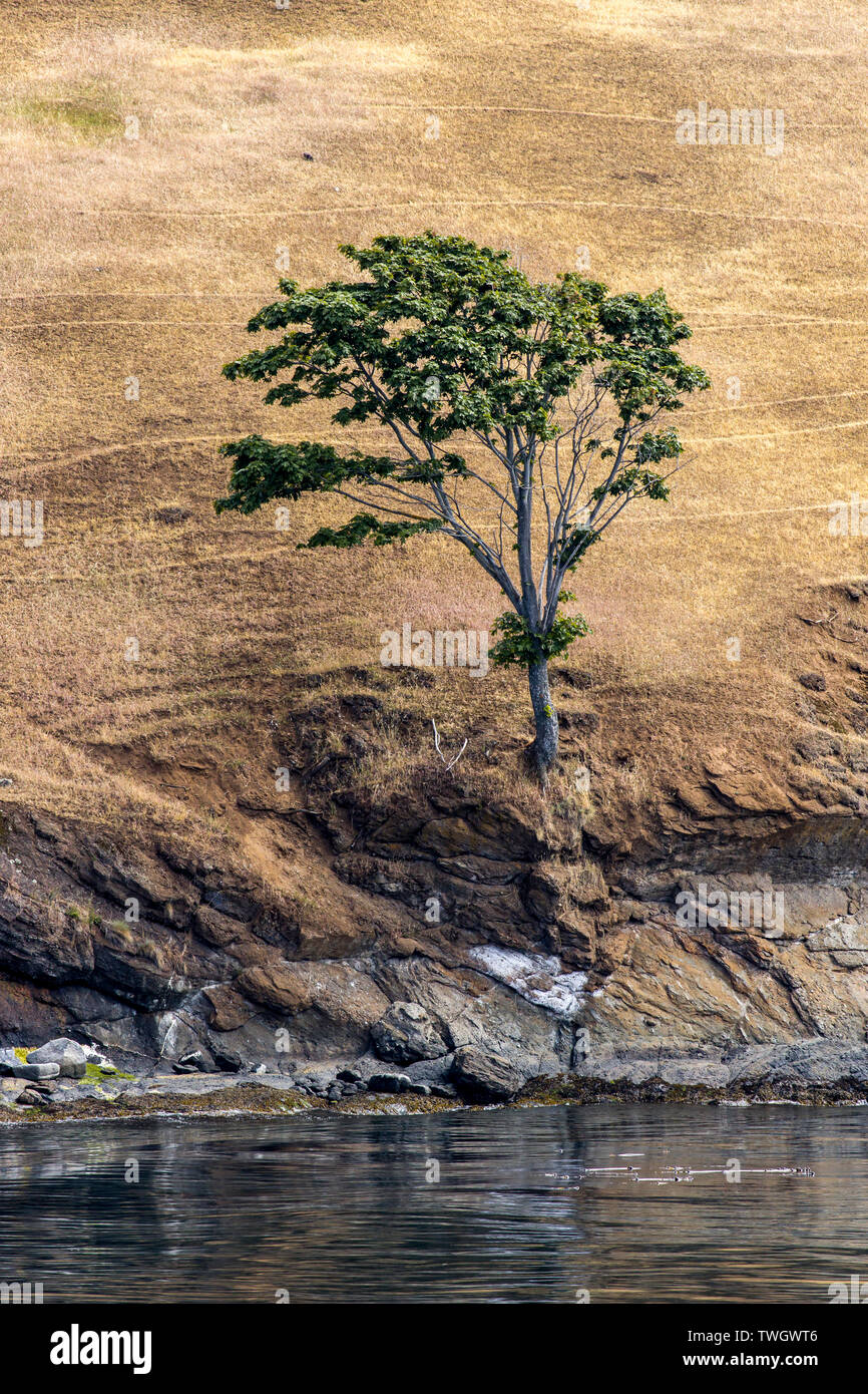 A lone tree on the banks of Spieden Island on the north end of San Juan Island in Washington. Stock Photo