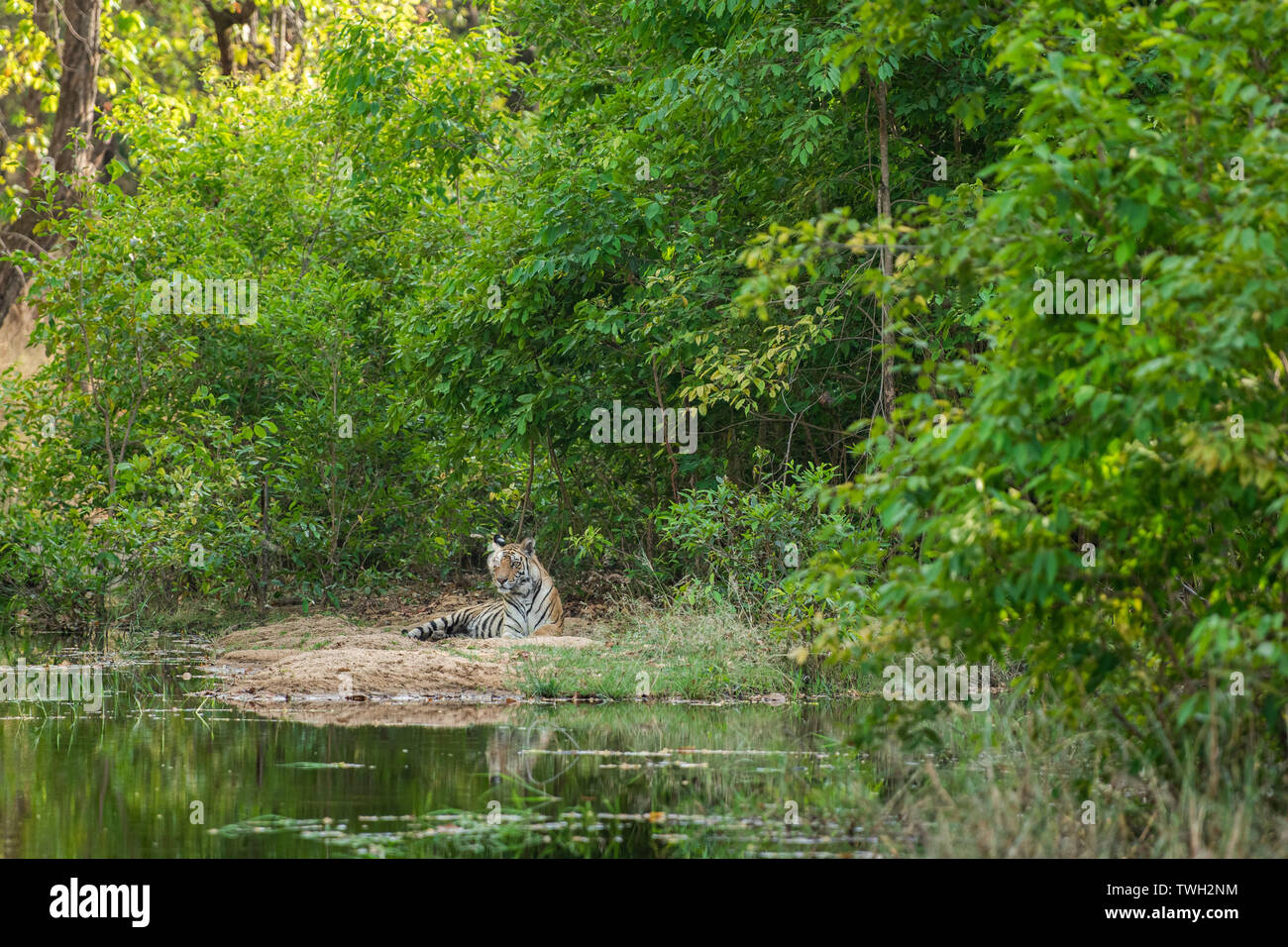 Royal bengal male tiger resting near water body of the jungle. Animal in green forest near water stream. Wild cat in nature habitat at bandhavgarh - Stock Image