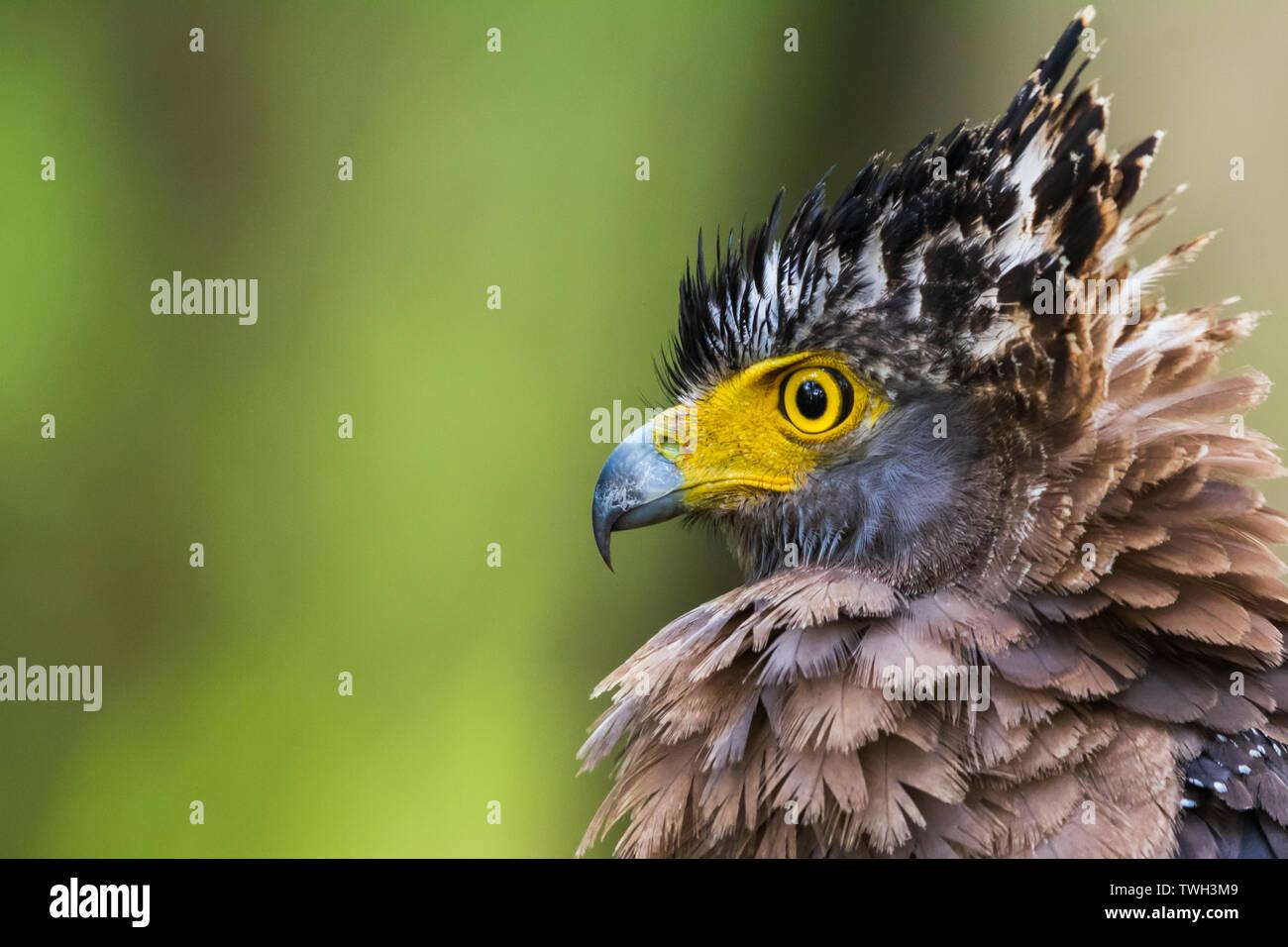 Portrait of a Serpent Eagle - Stock Image