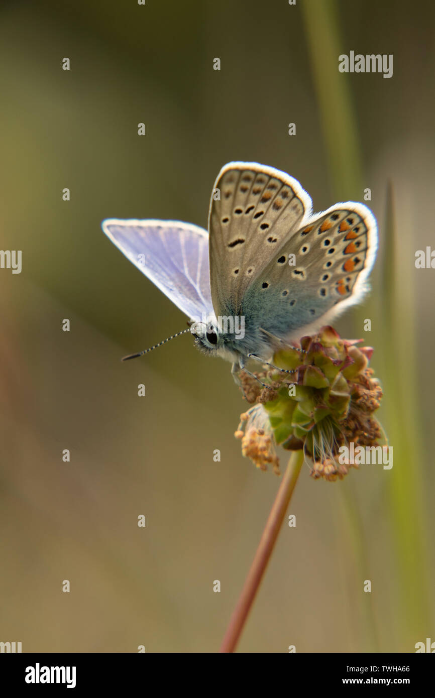 Almost taking of, common blue - Stock Image