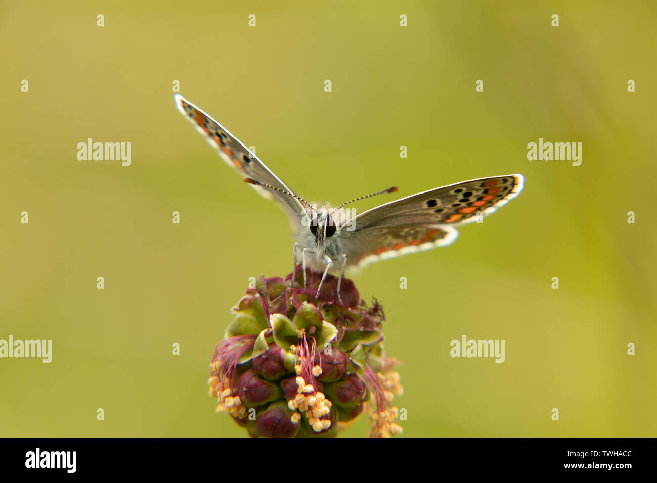 Front photo of a stunning  Brown argus - Stock Image