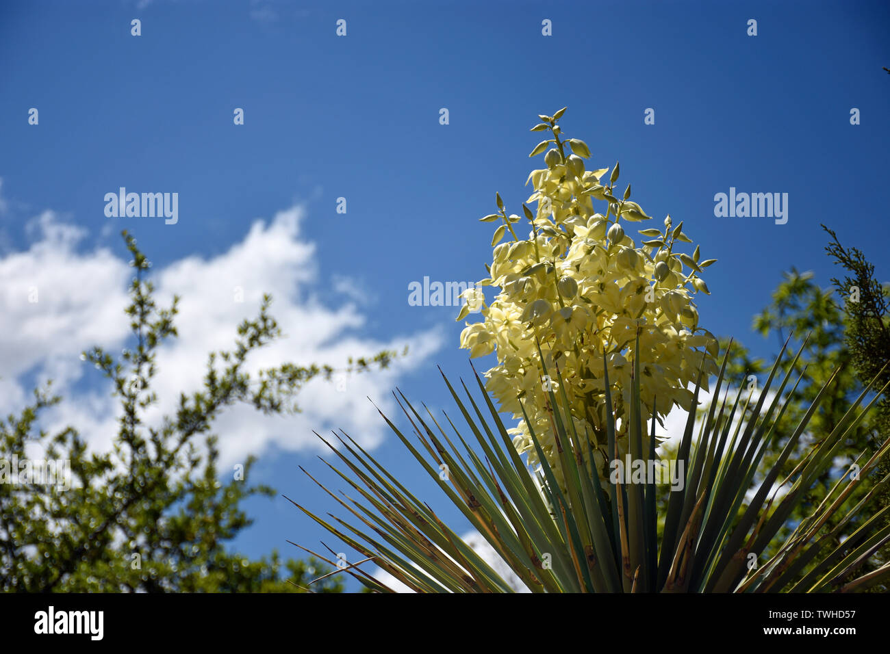Desert Yucca in the Sky - Stock Image