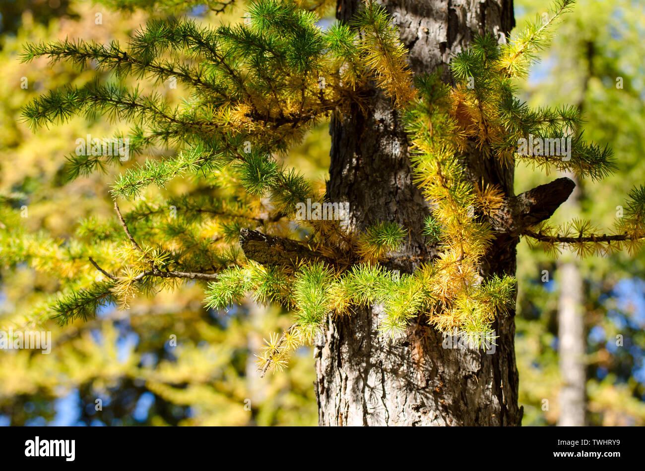 Bright fluffy branches of larix tree. Sunny photo of larch tree. Fall sunny day. Stock Photo