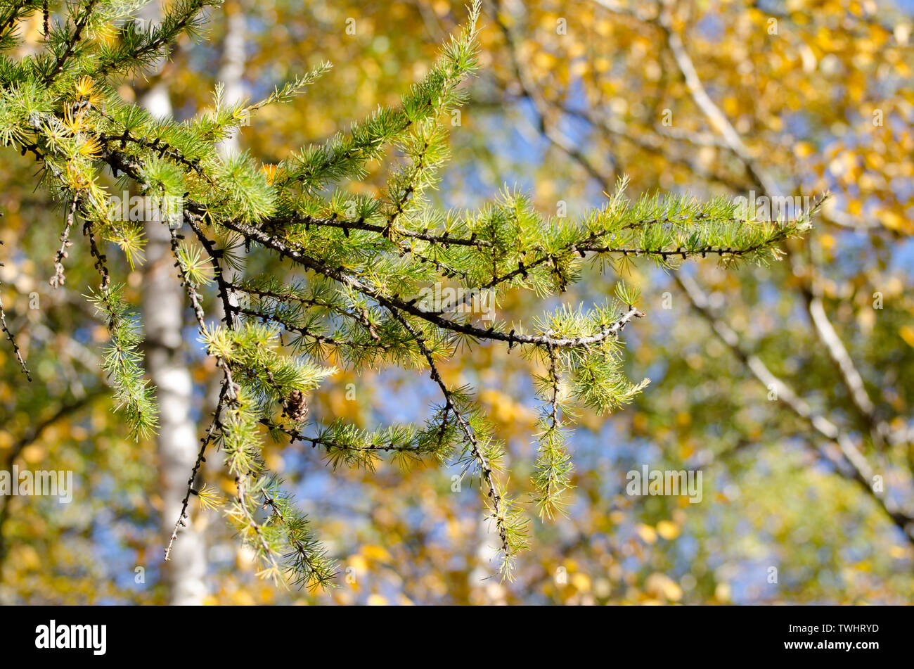 Bright fluffy branches of larix tree. Sunny photo of larch tree. Fall sunny day. - Stock Image