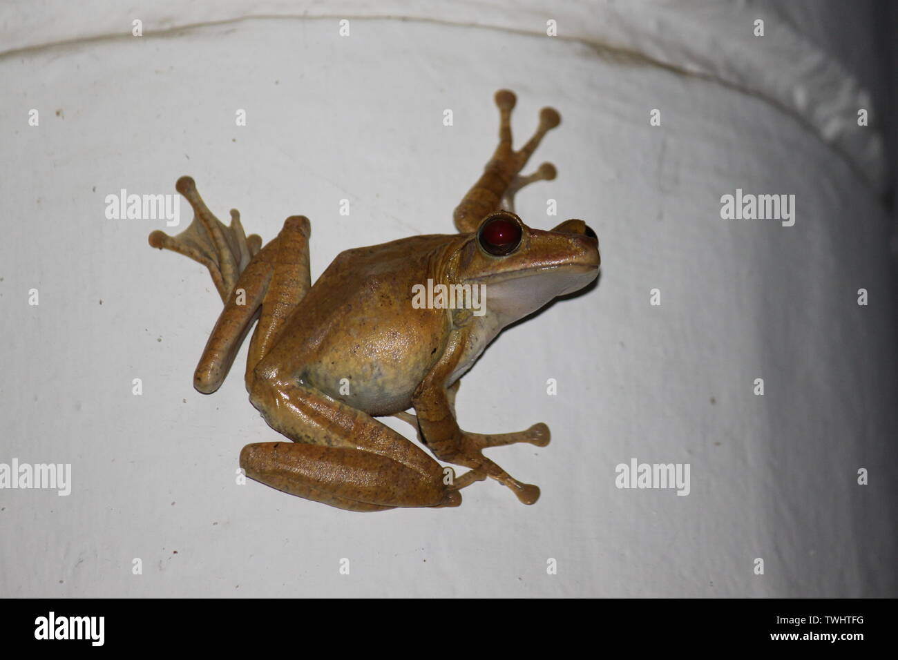 Common Indian tree frog photographed in Sri Lanka - Stock Image
