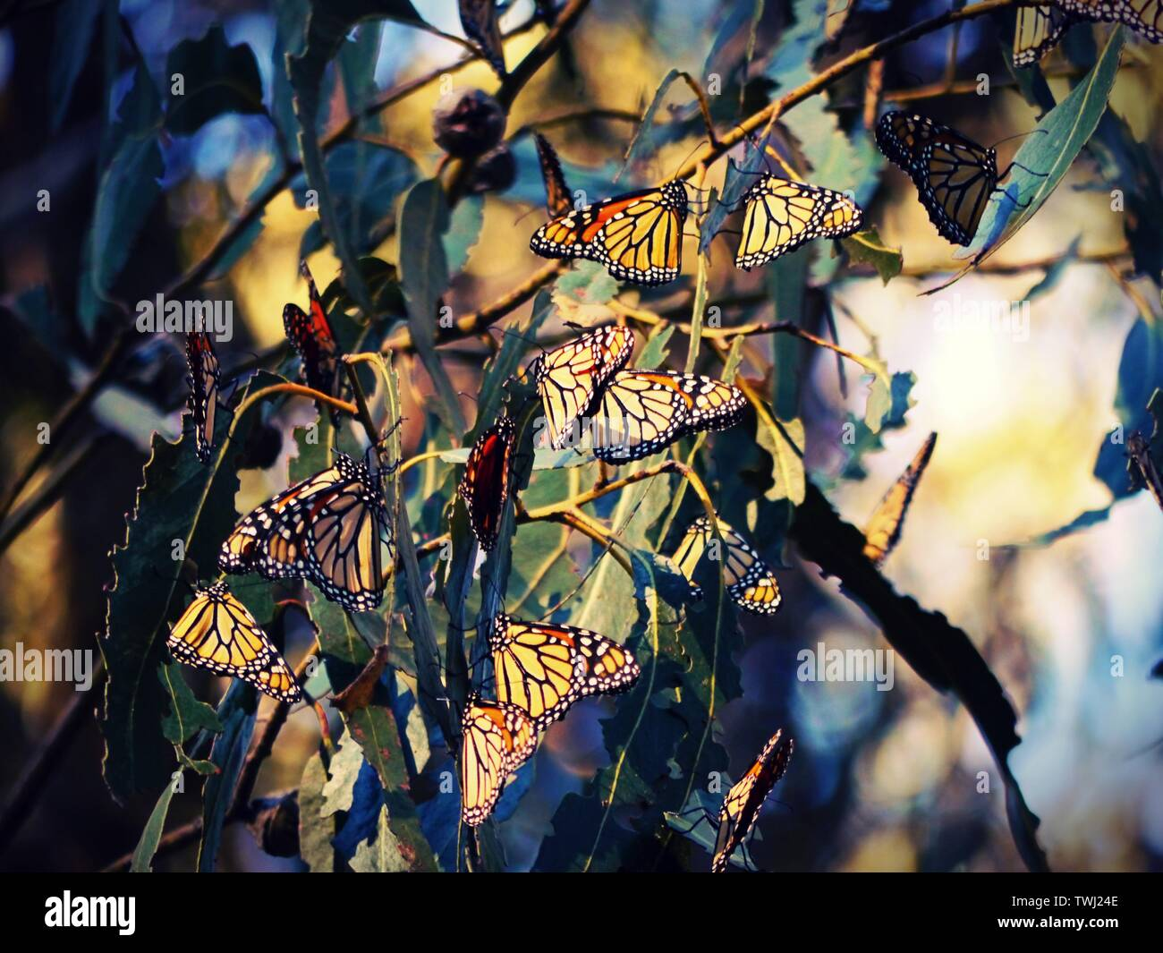 Monarch Butterfly Migration, Pismo