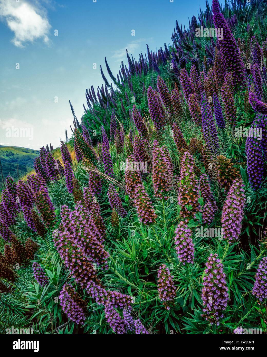 Echium, Echium candicans, Pride of Madera, Mount Tamalpais State Park, Marin County, California - Stock Image