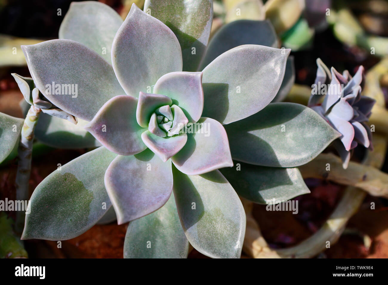 Graptopetalum Paraguayense Sedum Weinbergii Mother Of Pearl Plant Ghost Plant Succulent Plants Nature Photography Succulents And Cacti Stock Photo Alamy