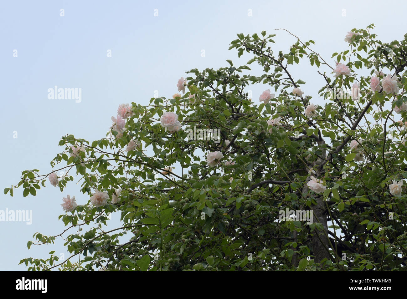 rambling or climbing rose 'Madame Alfred Carriére' with soft pink flowers in an apple tree against a blue sky, old noisette rose bred by schwartz 1875 - Stock Image