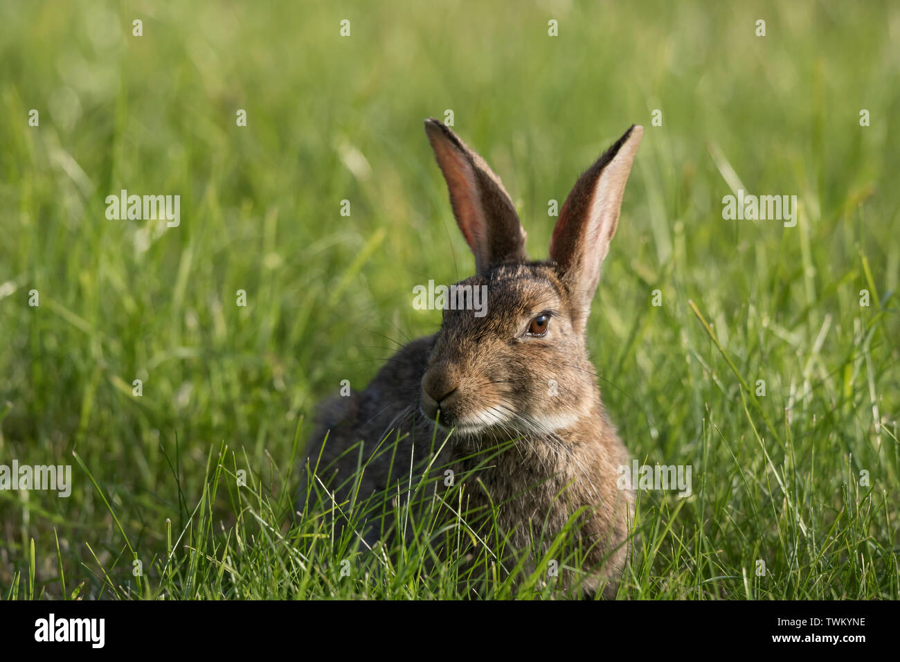 Detailed, close-up view of a wild rabbit (Oryctolagus cuniculus) isolated outdoors in a UK meadow on a summer afternoon in the sun. - Stock Image