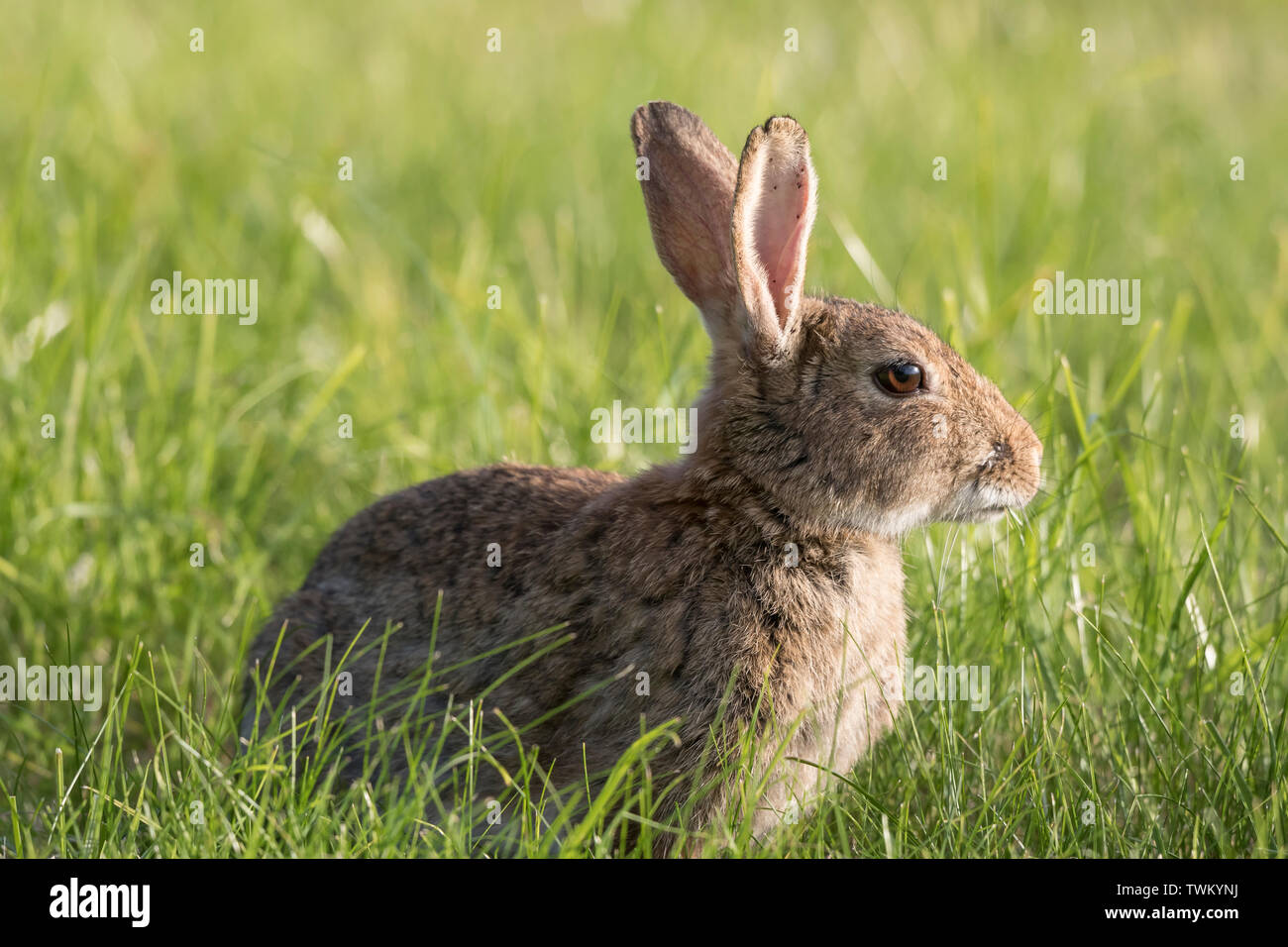 Detailed, close-up side view of a wild rabbit (Oryctolagus cuniculus) isolated outdoors in a UK meadow on a summer afternoon in the sun. - Stock Image