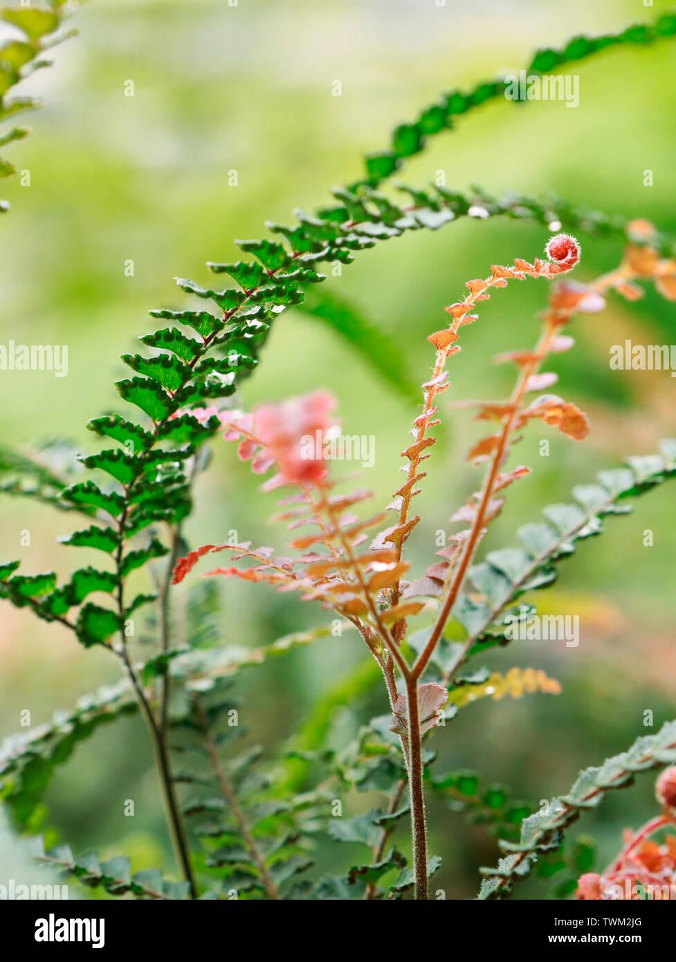 Rough Maidenhair Fern. Adiantum Hispidulum - Stock Image
