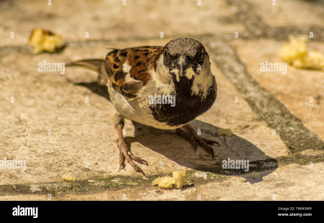 Sparrows feeding Stock Photo