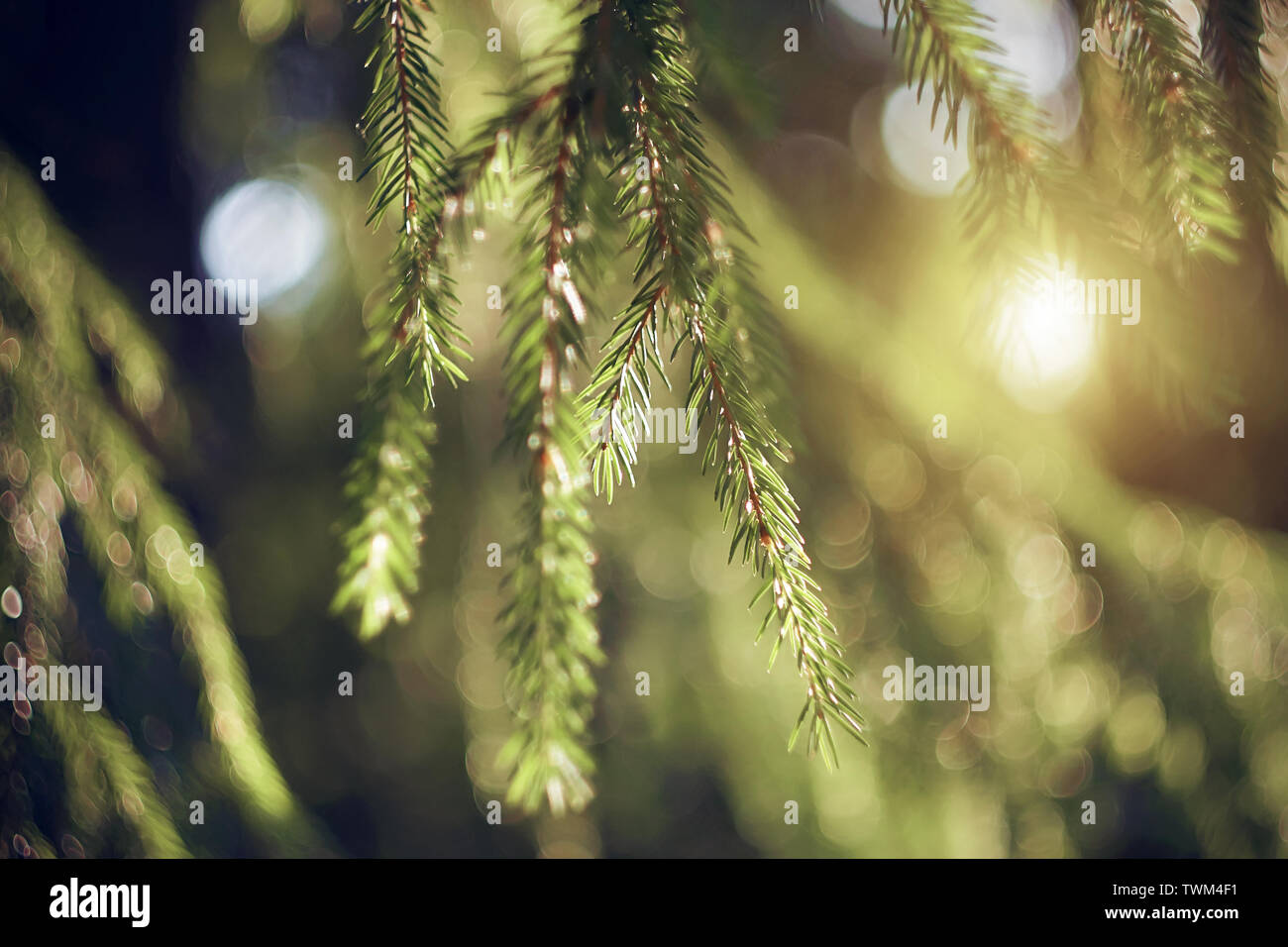 Green fresh fir branches with small needles hang down from the crown of the tree, illuminated by sunlight, breaking through the branches. - Stock Image