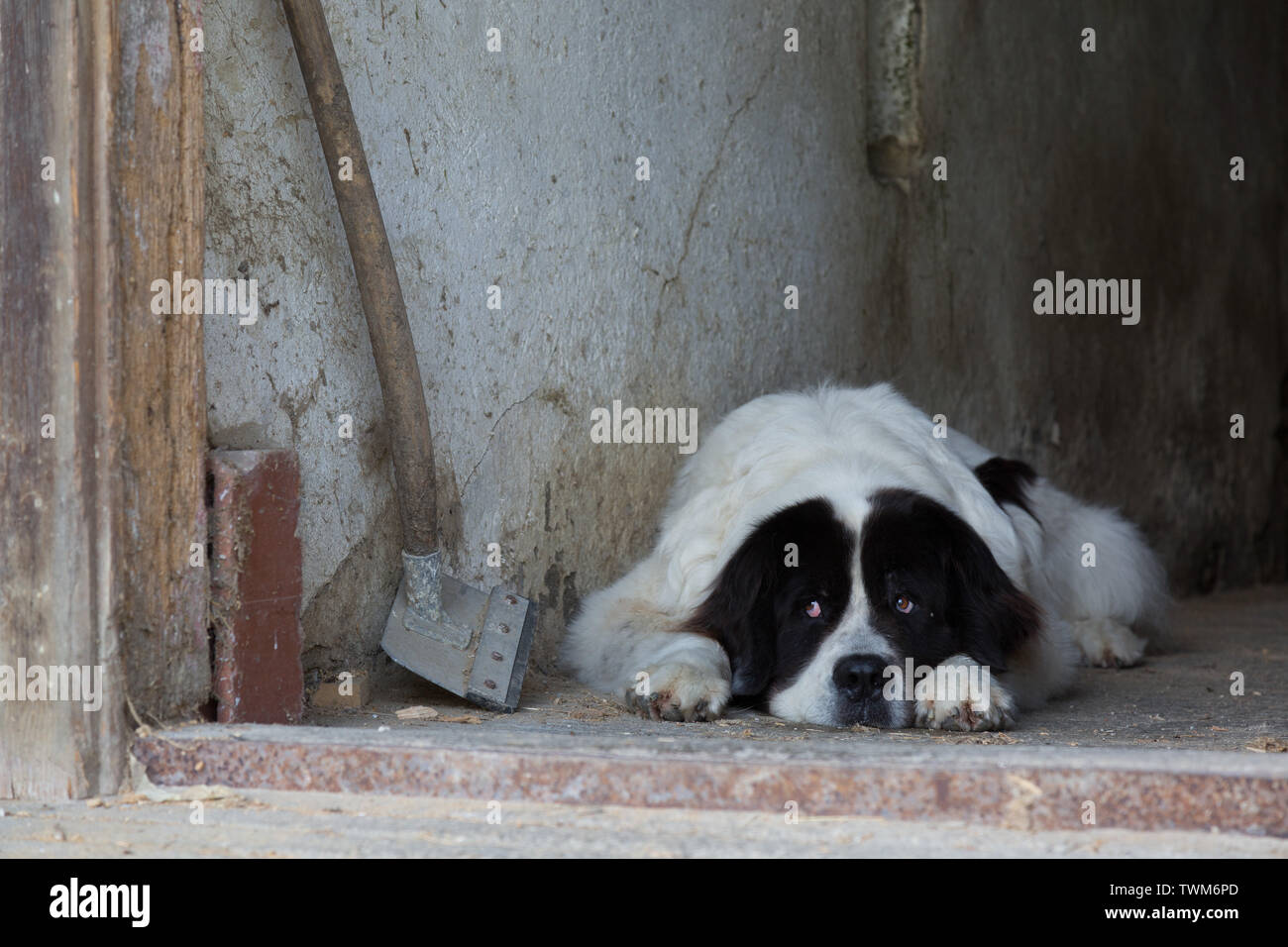 A tired Newfoundland Landseer dog rests in his barn at his farm home in Aargau, Switzerland. - Stock Image