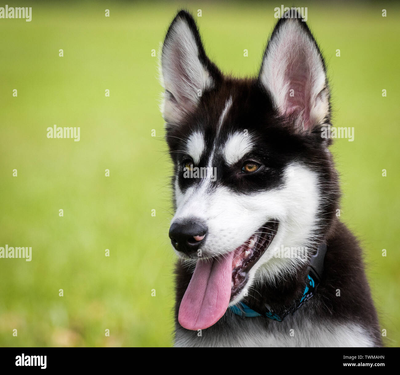 Husky Puppy With Brown Eyes Outdoors Close Up Portrait Style Stock Photo Alamy