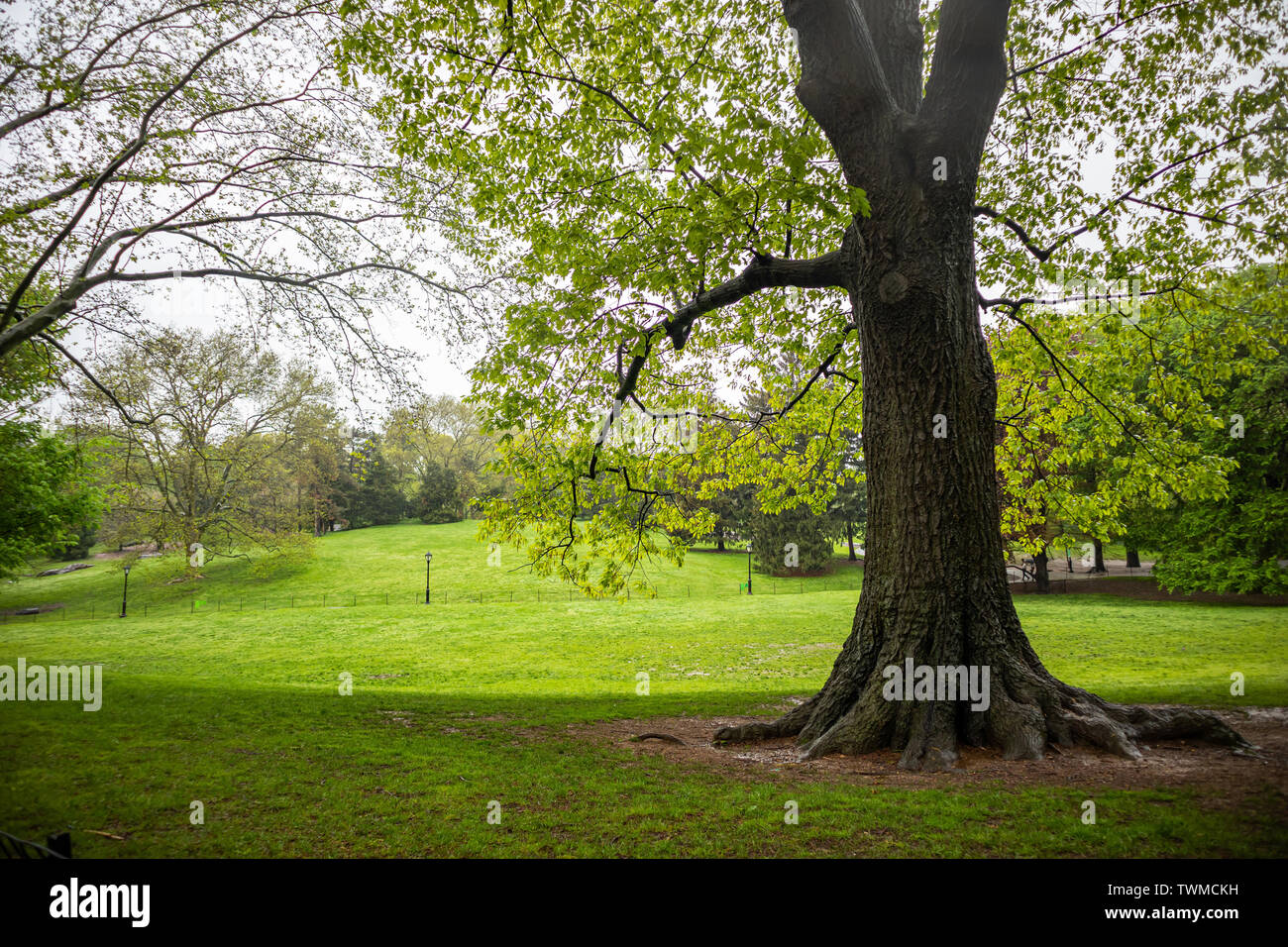 Central Park, New York city. Spring fresh tree foliage and green grass wet after the spring rain - Stock Image