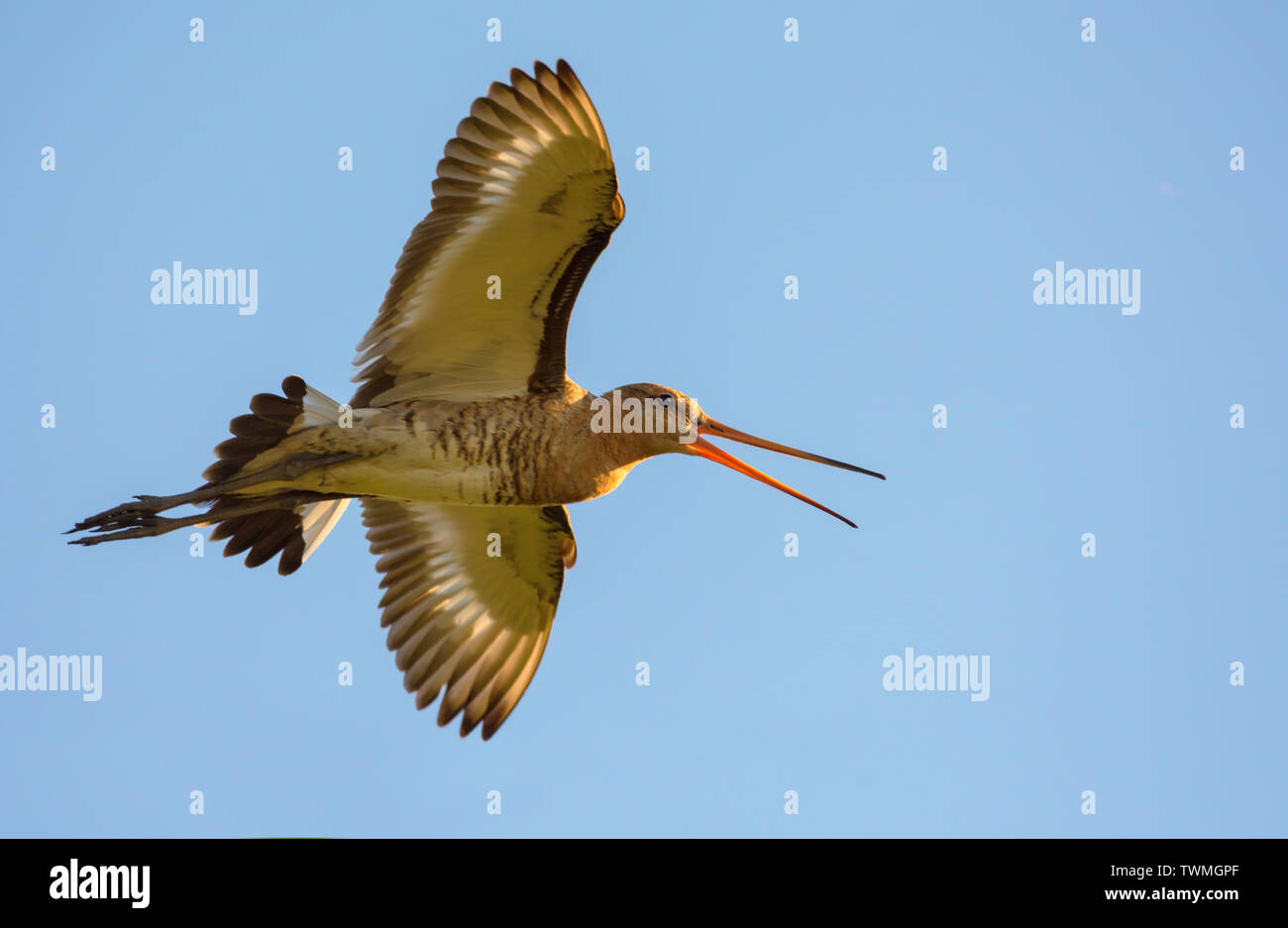 Black-tailed godwit flying to the sun and shouting loudly - Stock Image