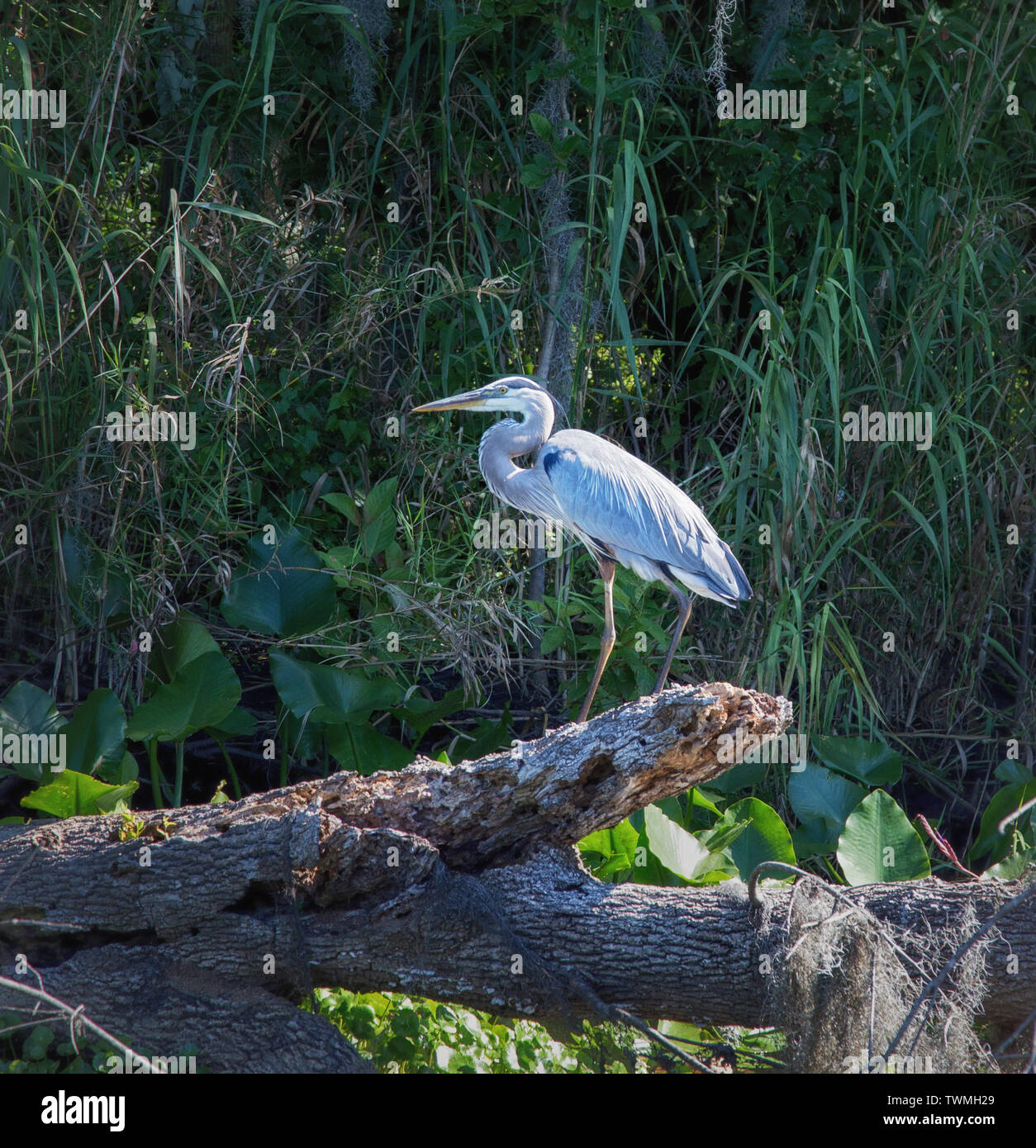 Egret sites on a log in the St. Johns River, northern Florida Stock Photo
