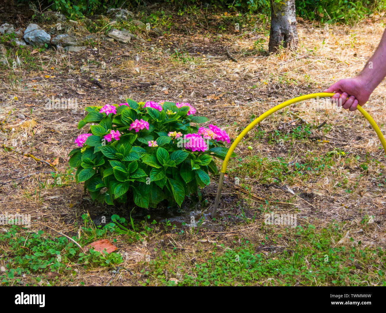 Hand watering an hydrangea plant in a garden with yellow pipe - Stock Image