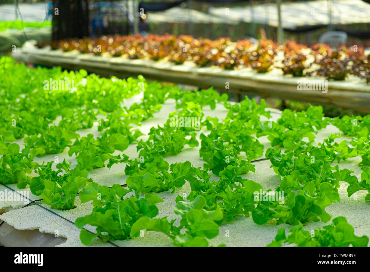 Vegetable green oak growing in hydroponic system flow water and fertilizer automation on planting plot, Eco organic modern smart farm 4.0 technology Stock Photo