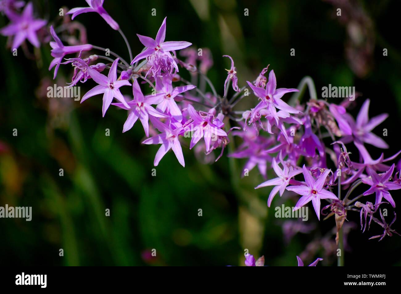 Violet flower - Stock Image