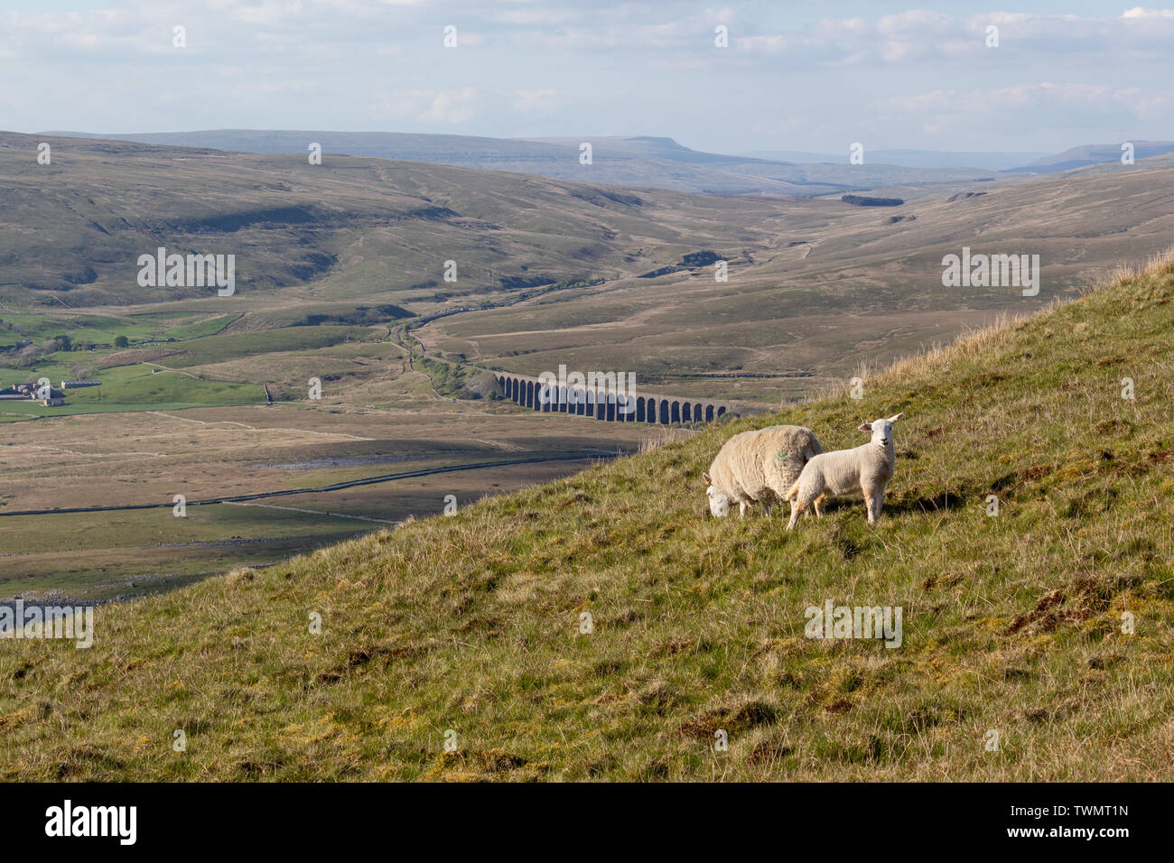 Ewe and Lamb on hillside in Yorkshire Dales, England, UK - Stock Image