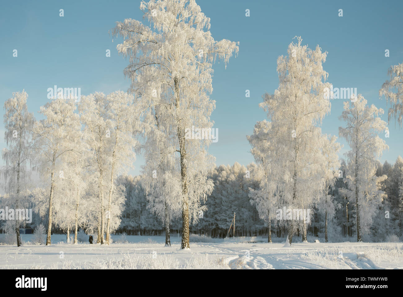 trees in frost in a field in the forest. Fir trees and pines covered with snow outside the city. Stock Photo
