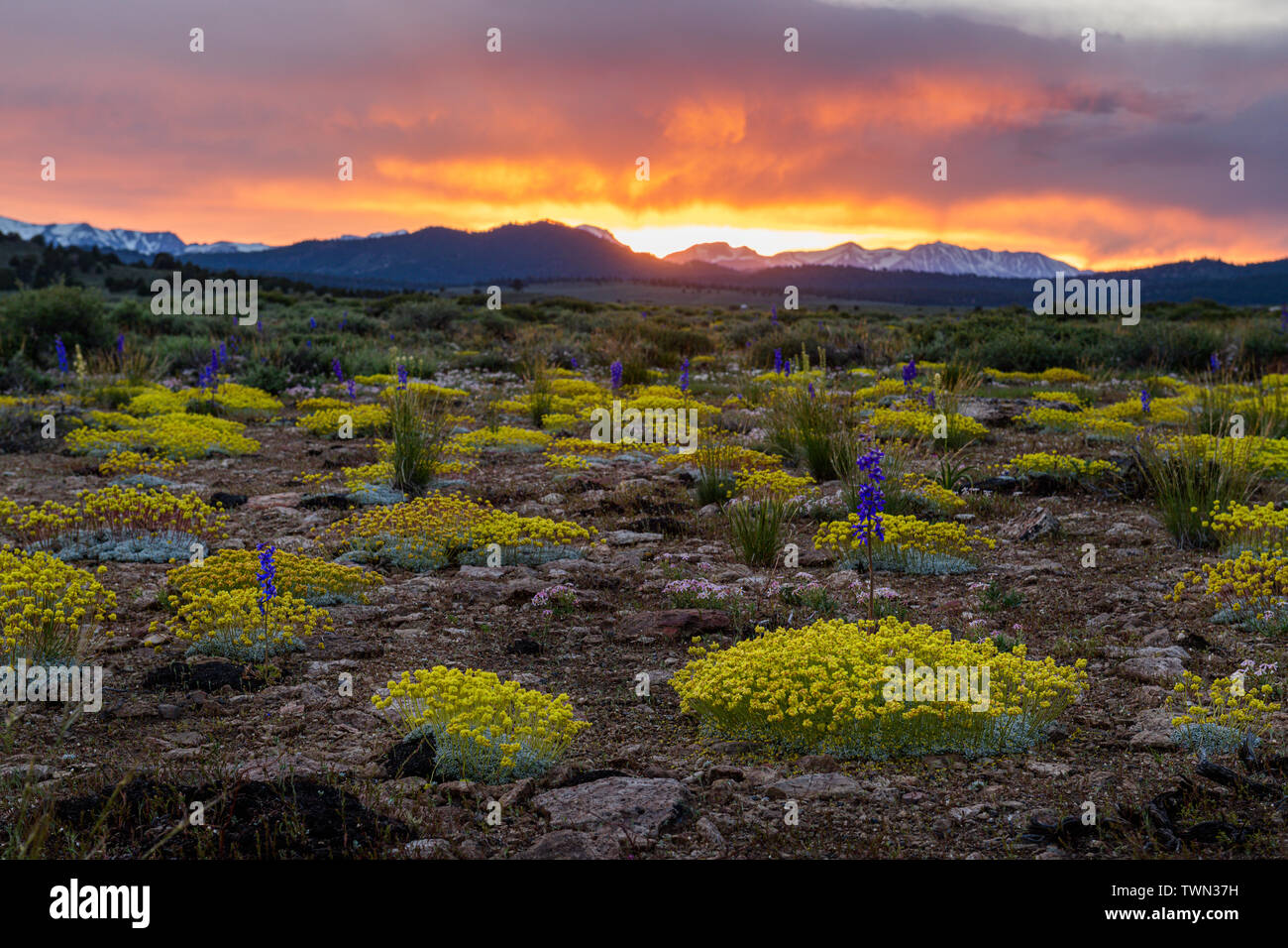 Sulfur Buckwheat and Larkspur mix in the high desert at sunset in Long Valley near Mammoth Lakes along scenic highway 395 in the Eastern Sierra, Calif Stock Photo
