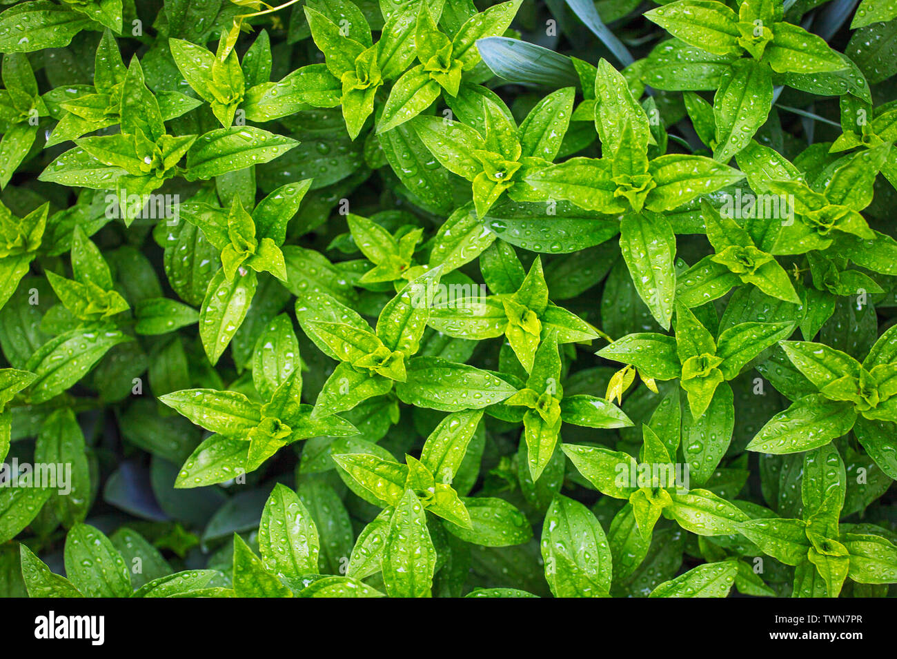 Plants leaves nature background, organic natural petal pattern, beauty of nature after rain, eco-friendly summer greenery background - Stock Image