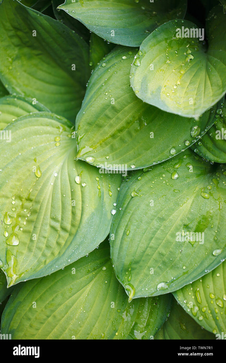 Water drop on a leaf after rain, greenery eco-friendly organic background, clearness, purity, freshness concept, ecology, summer natural plant - Stock Image