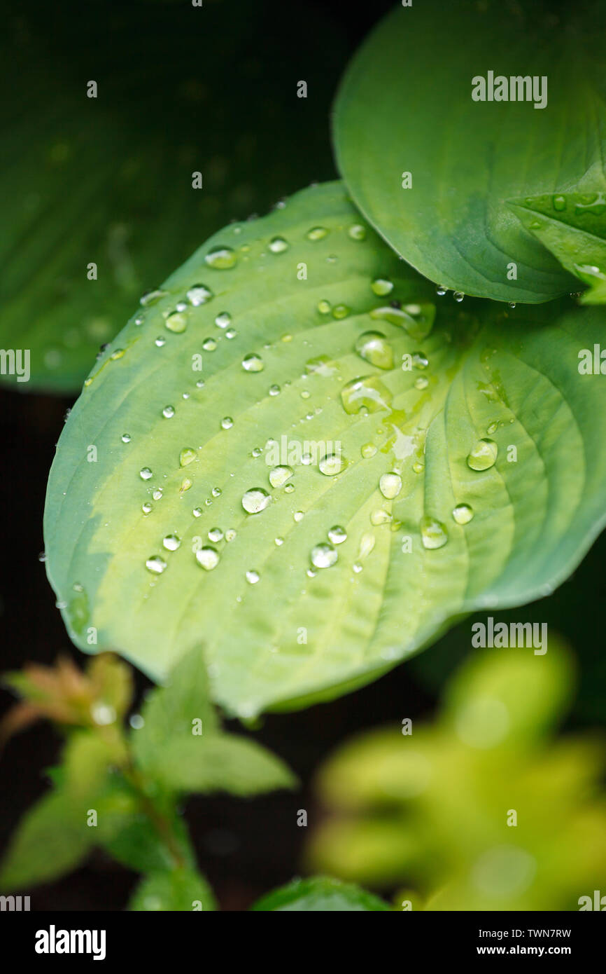 Green texture. Leaf after rain texture background. Concept of netural organic greenery, eco-friendly pattern, summer time, freshness, mindfullness, re - Stock Image