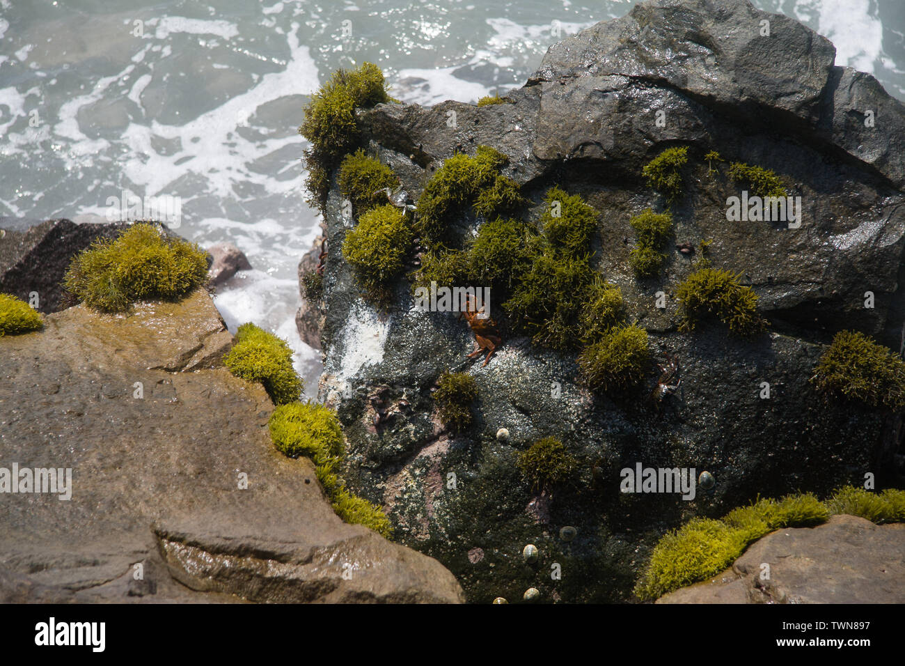 a crab on a rock in the oceean - Stock Image