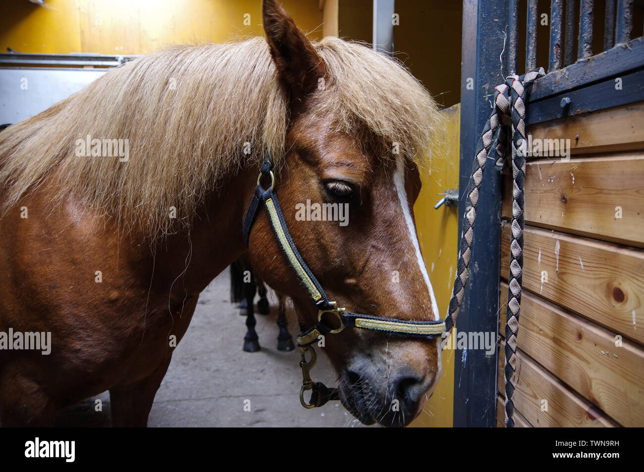 Sorrel horse in stable Stock Photo