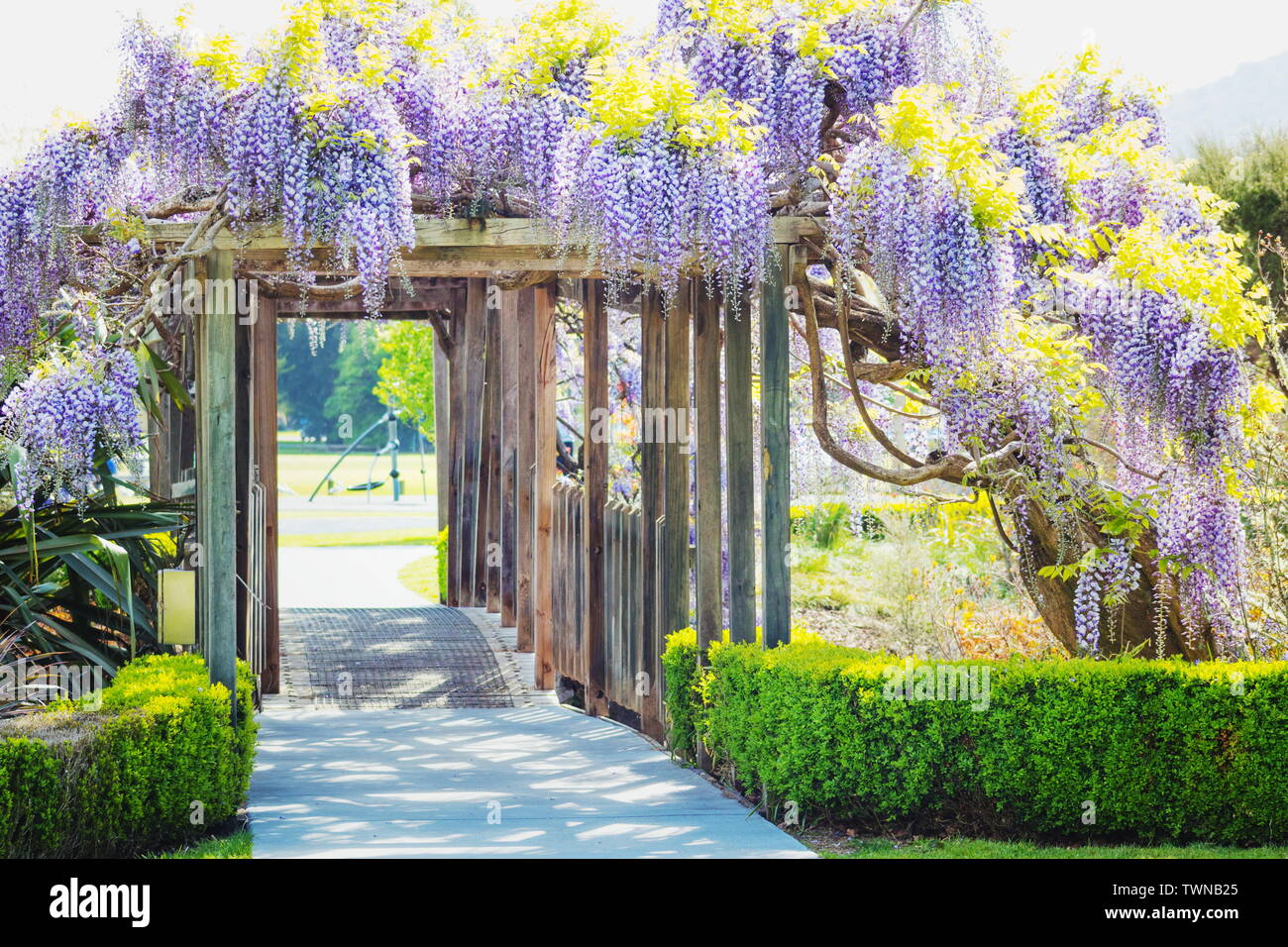 Image of Wisteria Flowers hanging on a garden bridge support Stock Photo