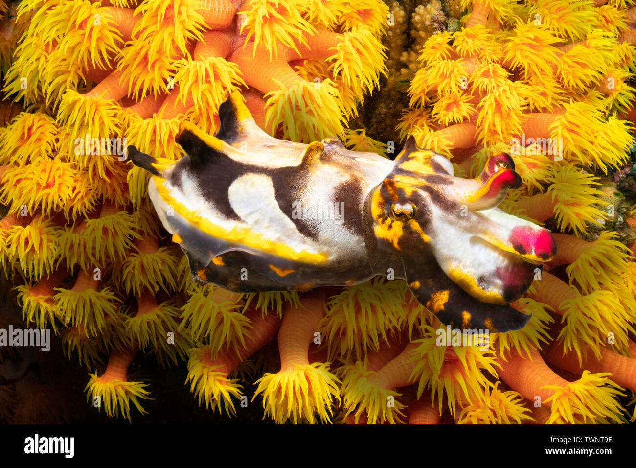 Colorful Pfeffer's flamboyant cuttlefish, Metasepia pfefferi, swimming over a colony of cup coral at night, Philippines. - Stock Image