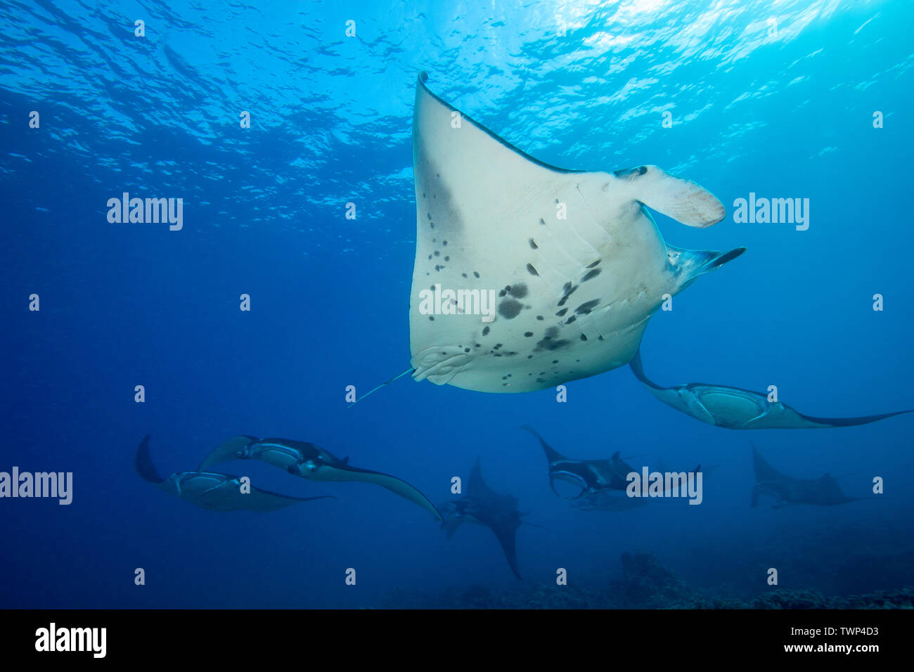 Reef manta rays, Manta alfredi, cruise over the shallows off Ukumehame in a mating train, Maui, Hawaii.  The individual in the foreground is a male. Stock Photo
