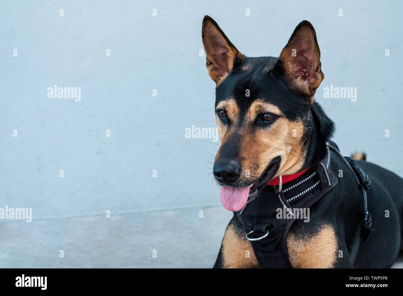 Stray mongrel rescued thai dog resting soft grey background - Stock Image