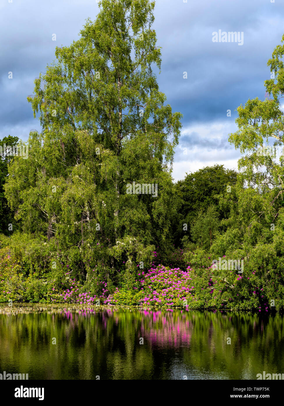 Trees and Rhodendreons at the side of a Loch, Sotland - Stock Image
