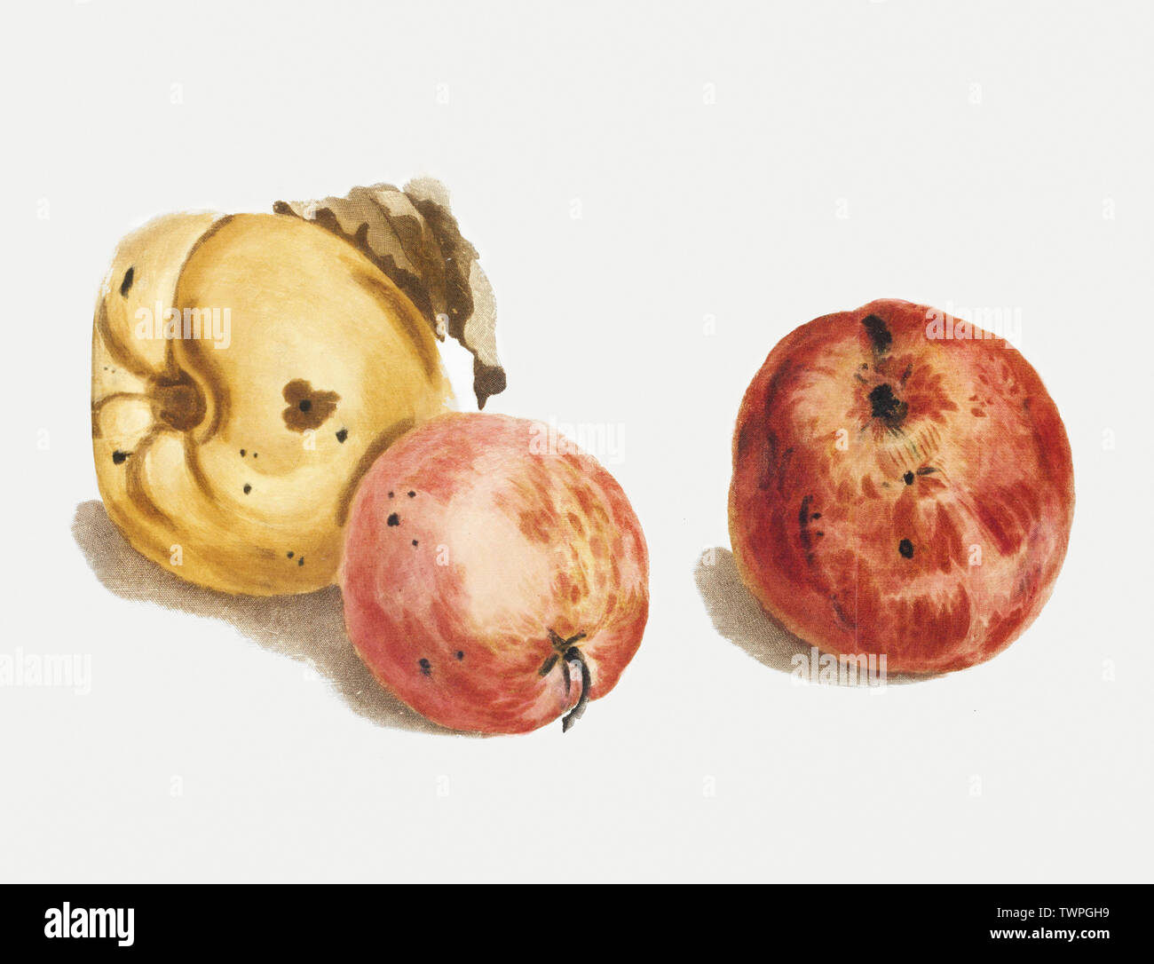 A quince and two apples by Johan Teyler (1648-1709). Original from the Rijks Museum. Digitally enhanced by rawpixel. - Stock Image