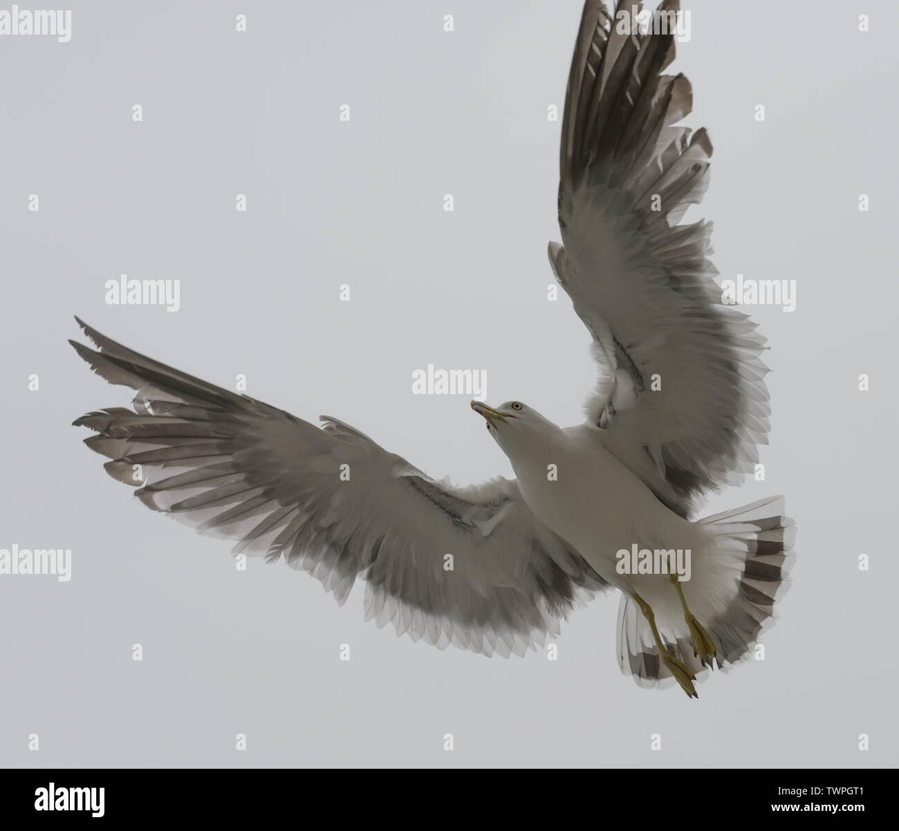 Flying seagull over overcast sky. - Stock Image