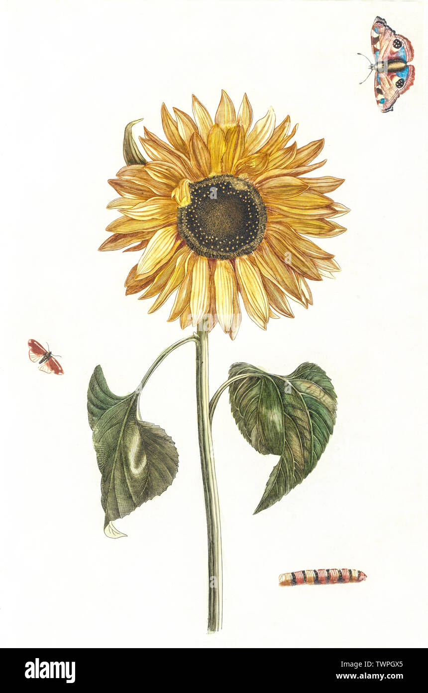 A sunflower, a caterpillar and two butterflies by Johan Teyler (1648-1709). Original from the Rijks Museum. Digitally enhanced by rawpixel. - Stock Image