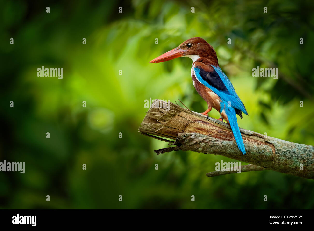 White-throated Kingfisher Halcyon smyrnensis on the branch, also known as the white-breasted kingfisher,  tree kingfisher, distributed in Asia from Tu - Stock Image
