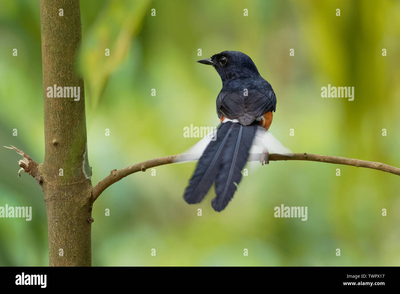 White-rumped Shama - Copsychus malabaricus small passerine bird of the family Muscicapidae. Native to densely vegetated habitats in the Indian subcont - Stock Image