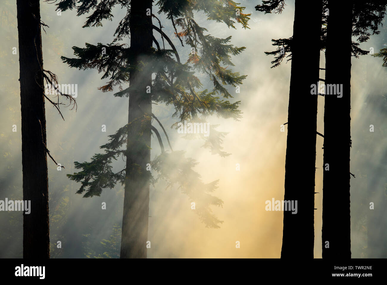 Smoky woods, conifers, Prescribed burn, Yosemite National Park, California, USA, by Bill Lea/Dembinsky Photo Assoc - Stock Image