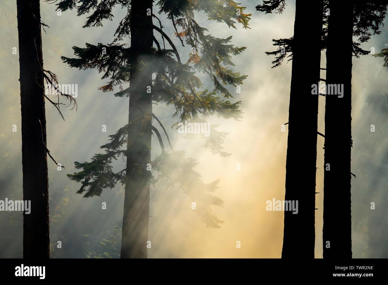Smoky woods, conifers, Prescribed burn, Yosemite National Park, California, USA, by Bill Lea/Dembinsky Photo Assoc Stock Photo