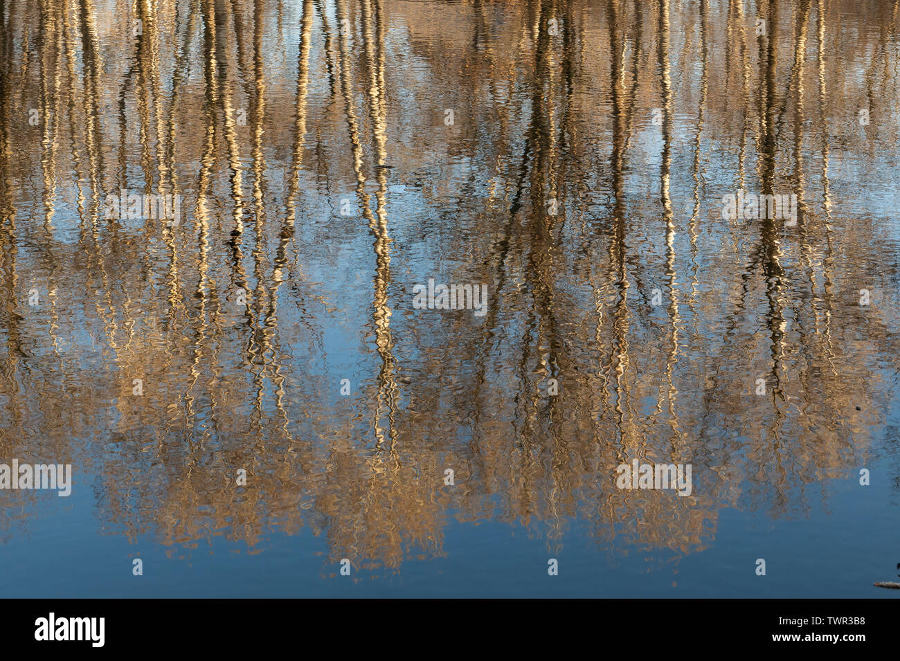 Forest reflections in a pond, Spring, Eastern United States, by Dominique Braud/Dembinsky Photo Assoc - Stock Image